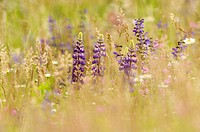 Lupine in meadow