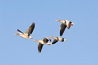 Flying grey geese