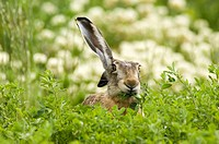 Hare in field eating leaves