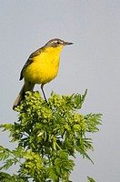 Yellow wagtail sitting on twig