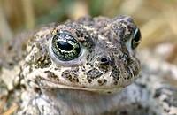 Natterjack Toad (Bufo calamita), UK