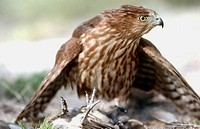 Cooper's Hawk (Accipiter cooperii). Arizona, USA