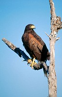 Harris's Hawk (Parabuteo unicinctus). Texas, USA
