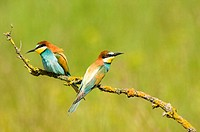Bee-eaters sitting on twig