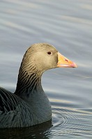 Greylag Goose (Anser anser)