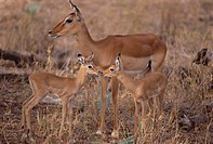 Impala Siblings