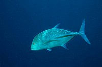 Bluefin Trevally (Caranx melampygus)