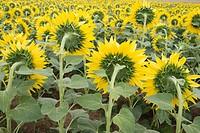Sunflowers field. ´Learza´ estate. Near Estella, Navarre, Spain