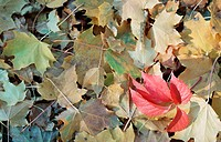 Coloured leaves in autumn, lying on the ground