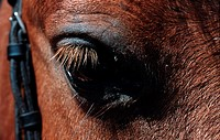 The eye of a brown horse