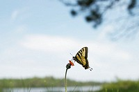 Canadian tiger swallowtail (Papilio canadensis) butterfly on flower