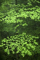Japan, Shizuoka Prefecture, Gotenba, forest