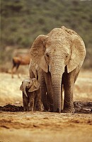 African Elephant (Loxoconta africana). Mother and baby. South Africa. IUCN Endangered The largest land animal. Formerly distributed over most of Afric...