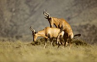 Hartebeest (Alcelaphus buselaphus). Mating. South Africa. Also known as Kongoni. A large-high-shouldered-deep-chested antelope with long legs and a sh...