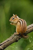 Eastern Chipmunk (Tamius striatus) - New York - Found across most of Eastern U.S. and  Southeastern Canada - Inhabits deciduous forests and brushy are...