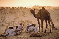 India, Rajasthan, Pushkar, Camel traders at the annual Pushkar fair cooking dinner.