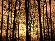 scenery, landscape, beech forest, Buchenwald, sundown, beeches, trees, silhouettes, wood, mood, dusk, twilight,