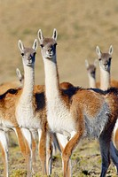 Guanaco (Lama Guanicoe) in Patagonia
