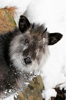 Close-up of a Japanese Serow (Nemorhaedus crispus)