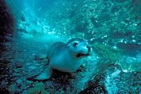 Australia, Kanguru Island , Sea Lion (Otaria Flavescens).