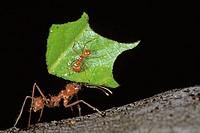 CA, Panama, Barro Colorado Island, leaf-cutter ant worker handeling leaf fragment, (Atta columbica)