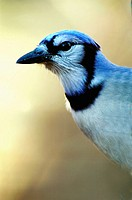 A blue jay (cyanocitta cristata). Pennsylvania (USA)