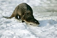 Lutra lutra, European Otter, playing in a icehole in winter, Germany
