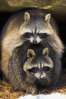 Procyon lotor, Raccoon