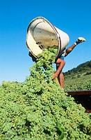 Grape harvest.  Vineyard of St-Romain. Côtes-de-Beaune. Côte d´Or. Burgundy. France