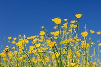 Meadow Buttercups (Ranunculus acris). Bavaria, Germany, Europe.
