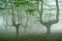 Beechwood (Fagus sylvatica). Campas de Arraba. Biscay, Spain