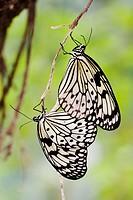 White Tree Nymphs (Idea leuconoe) mating
