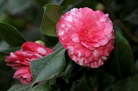 Pink blooming camelia, Camellia japonica