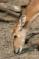 Side view of a antelope eating grass.