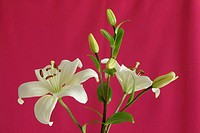 Lily plant against red background