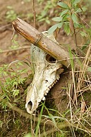 Dead animal skull lying in forest, close-up, Thailand, near river Kwai, Nam Tok.