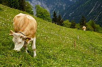 Cows grazing in Gimmelwald in the Berner Oberland region of Switzerland
