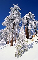 Rime ice and fresh power snow on Ponderosa pines under blue sky, Los Padres National Forest, CA.