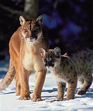 A adult mountain lion & kitten standing in the winter snow of Montana.