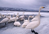Trumpeter Swans on Frozen Lake