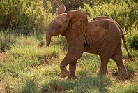 Baby Elephant Flaring Its Ears