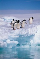 Adelie Penguins on Ice Floe next to Water