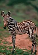 Young Grevy´s Zebra
