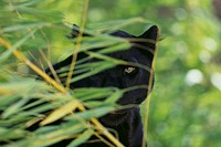 Black Leopard Behind Leaves