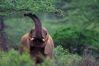 African Elephant Grazing on Tree