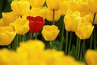 One red tulip among group of yellow tulips (Tulipa), spring