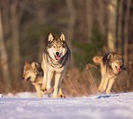 Gray Wolves Running on Snow