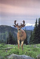 Deer Olympic National Park Washington USA