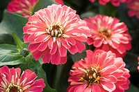 Zinnia plant in bloom, elevated view