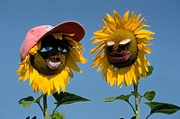 Sunflowers with animated faces
